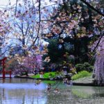 cherry-blossom-at-japanese-garden