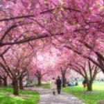cherry-blossom-esplanade